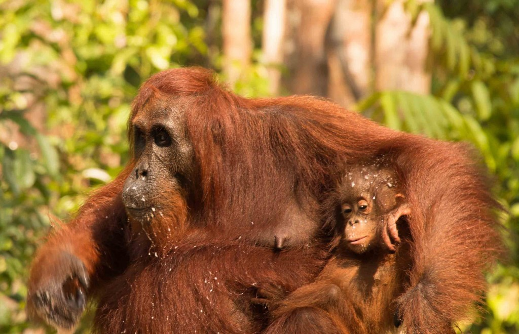 Mother and Baby Orangutans in Tanjung Puting National Park, Kalimantan, Indonesia