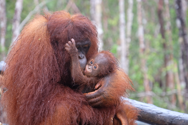 Orangutans at Sungai Bulu